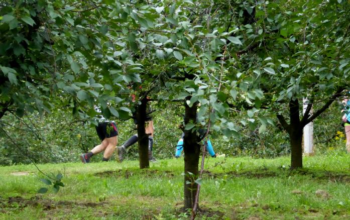 Sad wiśniowy na trasie biegu